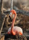 американский портрет фламингоа Стоковое Фото