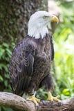 Американский профиль тела орла Стоковые Фото