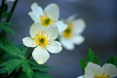 Американский распространяя Wildflower Laxus Trollius Globeflower к Mo стоковое фото
