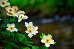 Американский распространяя Wildflower Laxus Trollius Globeflower к Mo стоковое изображение
