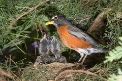 Американский робин (migratorius Turdus) с птенецами в гнезде Стоковое фото RF