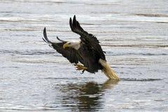 Американский самосхват рыб белоголового орлана Стоковая Фотография RF
