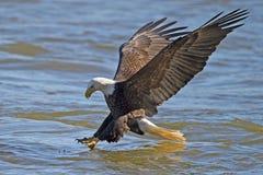 Американский самосхват рыб белоголового орлана Стоковые Фото