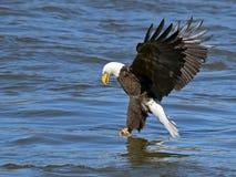 Американский самосхват рыб белоголового орлана Стоковые Изображения RF