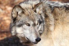 американский серый северный волк Стоковые Изображения RF
