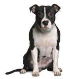 американский сидя terrier staffordshire Стоковое Изображение RF
