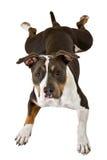 американский смешной terrier staffordshire Стоковое Изображение