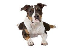 американский смешной terrier staffordshire Стоковые Изображения RF