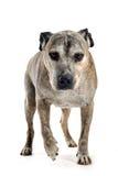 американский старый terrier staffordshire Стоковое Изображение