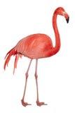 американский фламинго выреза Стоковые Фотографии RF