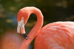американский фламинго Стоковые Изображения