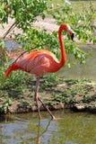 американский фламинго Стоковая Фотография