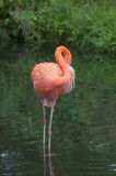 американский фламинго Стоковые Фотографии RF