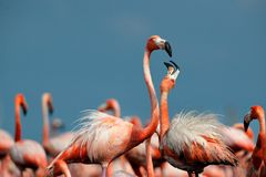 американский фламинго Стоковое Фото