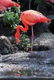 американский фламинго Стоковые Изображения RF