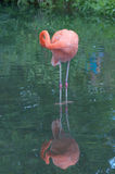 американский фламинго Стоковое фото RF