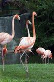 американский фламинго Стоковая Фотография RF