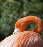 Американский фламинго на Gatorland Флориде Стоковые Изображения