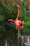 американский фламинго Стоковое Изображение