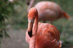 Американский фламинго - ruber Phoenicopterus Стоковые Изображения
