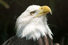 американский хищник орла Стоковые Фотографии RF