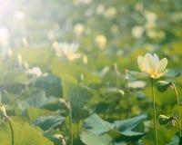 Американский цветок лотоса Стоковые Изображения RF