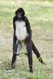 американский центральный спайдер обезьяны Стоковое фото RF