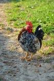 Американский цыпленок стоковая фотография