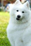 американский эскимос собаки Стоковое Изображение