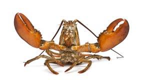 американский americanus омар homarus стоковое изображение