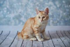 Американский Bobtail кот Стоковое Изображение RF