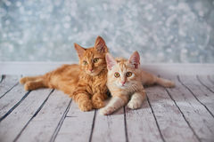 Американский Bobtail кот Стоковое Изображение