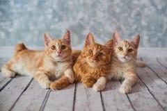 Американский Bobtail кот Стоковое фото RF