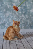Американский Bobtail кот Стоковая Фотография