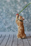 Американский Bobtail кот Стоковые Изображения