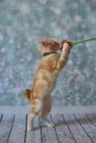 Американский Bobtail кот Стоковая Фотография RF