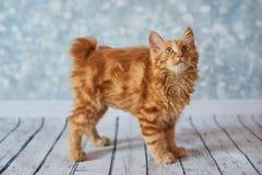 Американский Bobtail кот Стоковые Изображения RF
