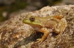американский bullfrog Стоковые Фото