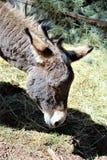 американский burro Стоковое Фото