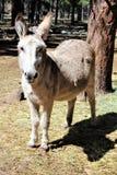 американский burro Стоковое Изображение