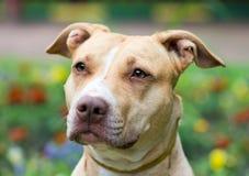 Американский close-up Terrier питбуля Стоковые Изображения RF