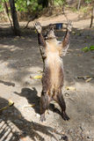 американский coati южный Стоковая Фотография
