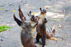 американский coati южный Стоковая Фотография RF
