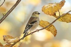 Американский Goldfinch в Plumage зимы стоковые изображения rf