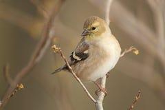Американский Goldfinch в Plumage осени стоковое изображение rf