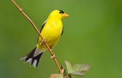 Американский Goldfinch. Мужчина. Стоковое Фото