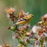 Американский Goldfinch на заводе thistle Стоковые Фото