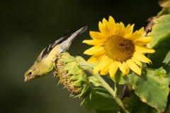 Американский Goldfinch на солнцецвете стоковое изображение