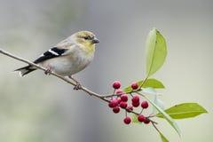 Американский Goldfinch на Sprig падуба стоковые изображения rf