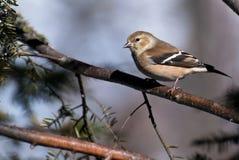 американский goldfinch садился на насест вал Стоковое Изображение